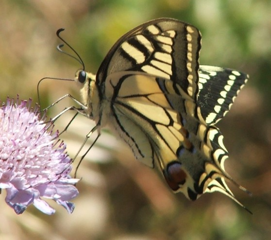 Swallowtail butterfly by Rebecca Nesbit