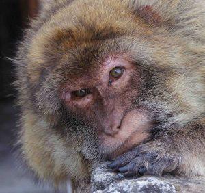 Monkey - Barbary Macaques (Macaca sylvanus). Photo: Rebecca Nesbit